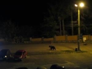 bjørn i predeal